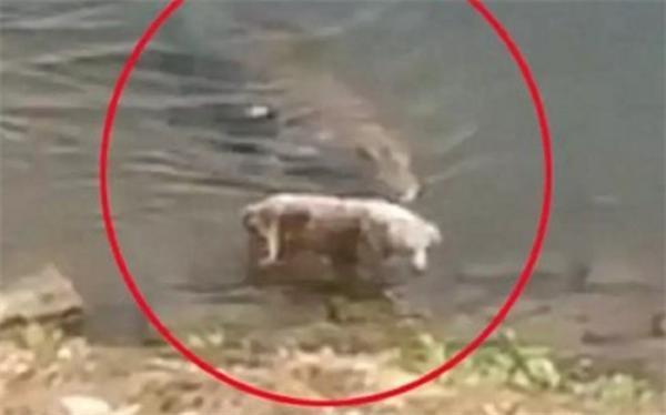 لحظه حمله مرگبار کروکدیل به سگ
